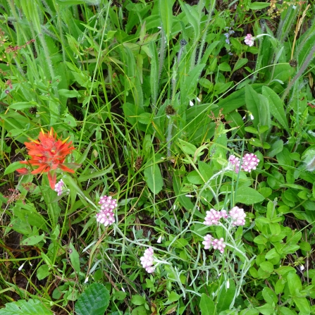 Indian paintbrush and pussytoes