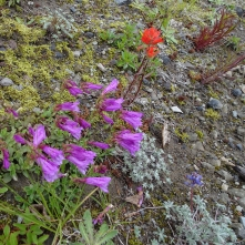 Penstemon, dwarf lupine and paintbrush