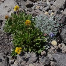dwarf lupine, buckwheat, and ?