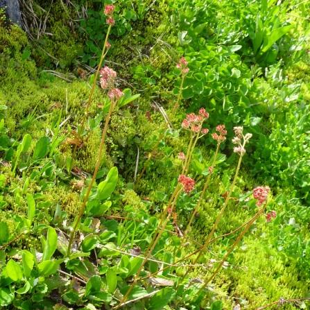 leatherleaf saxifrage