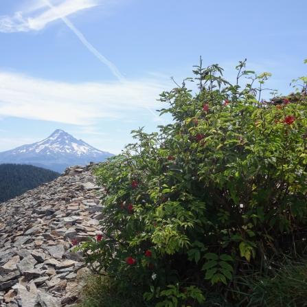Sitka mountain ash