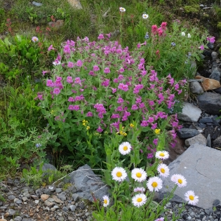 monkey flower, aster, paintbrush, saxifrage