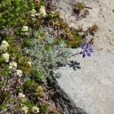 partridge foot, dwarf lupine