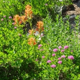 paintbrush, rosy spirea