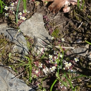 spring whitlow grass