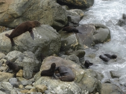 Fur seals, Ohau Overlook