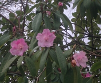 early rhodies