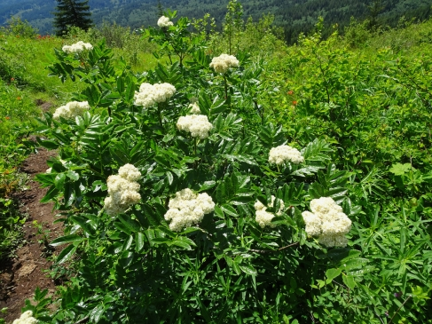 Cascade mountain ash