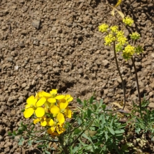 wallflower and parsley