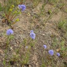 blue gillia