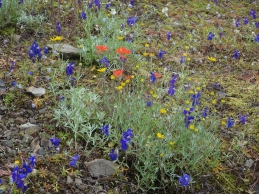 larkspur, Oregon sunshine, blue gillia, paintbrush