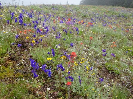Larkspur, Oregon sunshine, mariposa lilies, paintbrush, death camas