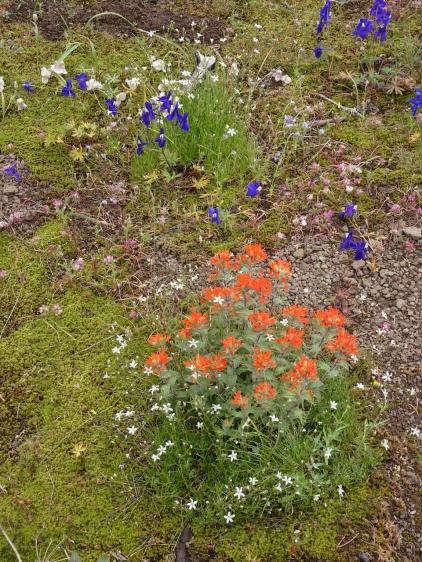 paintbrush, sandwort, larkspur
