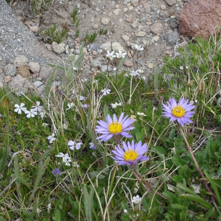 phlox, aster and sandwort