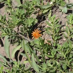 orange agerosis