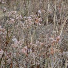 snow buckwheat