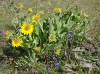Larkspur and balsamroot