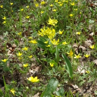 Glacier lilies and buttercups