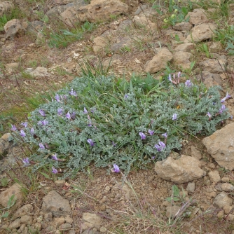 Wooly vetch