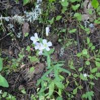 Oaks toothwort