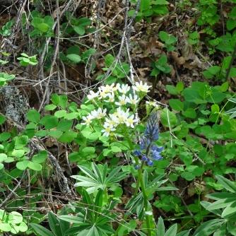 white western groundsel, lupine
